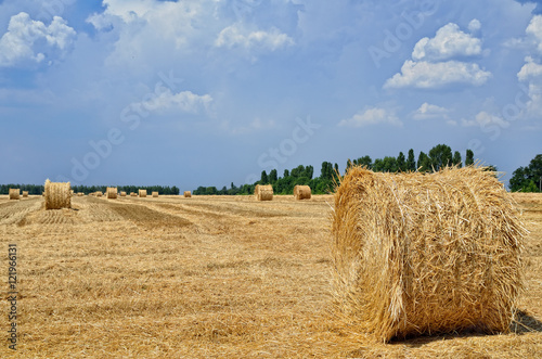 Poster Round bales of straw lie in the field after harvesting