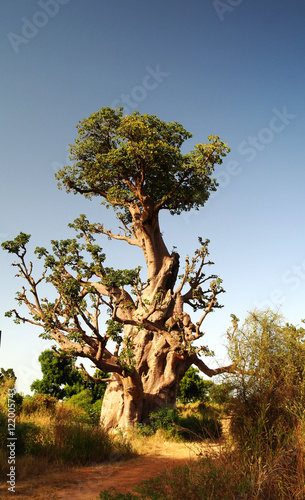 Foto op Canvas Baobab Giant Baobab tree