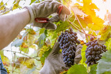 wine grower picking grapes or doing the harvesting in vineyard close up as sun shines through vine leafs - harvest time in wine industry