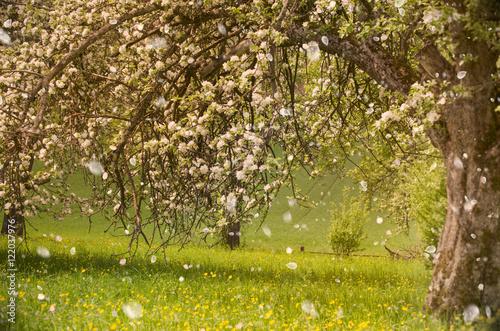 Foto Murales appletree with flying petals in gradma´s garden - retro
