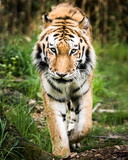 Amur Tiger On the Prowl