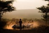 Afrykański bydło