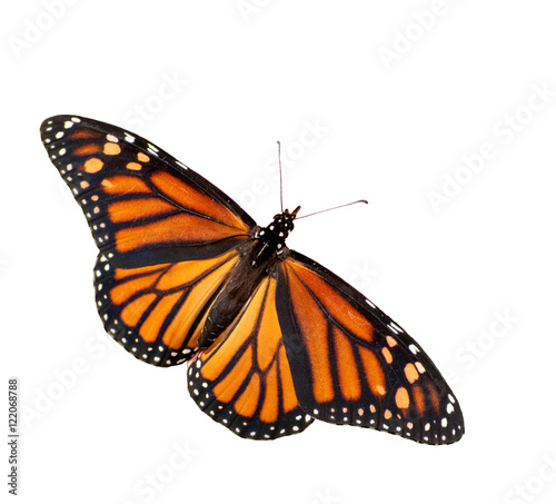 Deurstickers Vlinder Female Monarch butterfly isolated on white