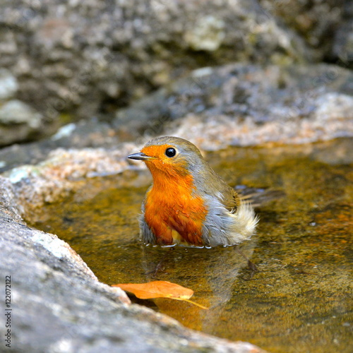 Poster Robin in the water