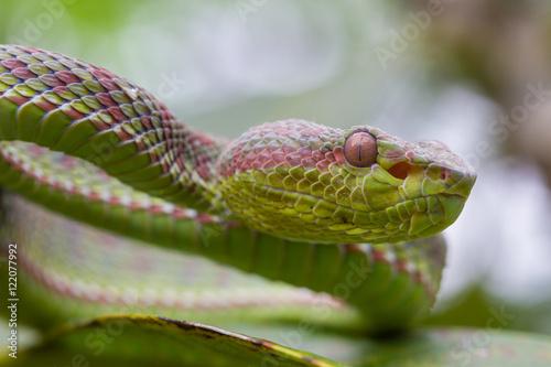 Poster Close up Pitviper snake