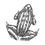 Frog, stylized drawing. Decorative drawn anuran toad. Black and white drawing by hand. Witchcraft, voodoo magic attribute. Illustration for Halloween. Vector.