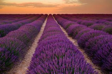 Lavender field on sunrise, Valensole plateau (France)