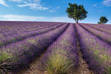 Lavendelfeld in Valensole Plateau, Provence (Frankreich)
