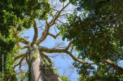 Giant Kapok tree in the Amazon rainforest, Tambopata National Reserve, Peru Poster