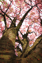 Kirschen Blumen auf dem Baum