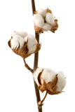 Isolated cotton branch - 122157789