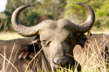 Your to CLOSE -African Buffalo Syncerus caffer