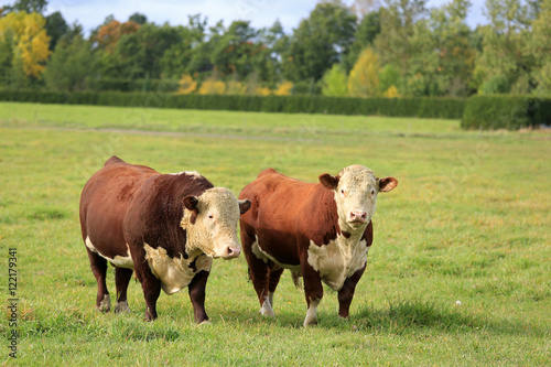Two Hereford Bulls on Green Autumn Field