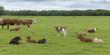 Herd of cattle in a field, Manitoba, Canada