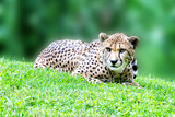 Cheeta Jaguar eyes portrait looking at you