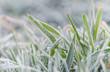 Frozen morning grass