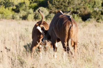 Smell you Later - Greater Kudu - Tragelaphus strepsiceros