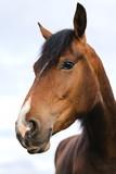 Schönes Pferd, Brauner, Portrait vor blauem Himmel