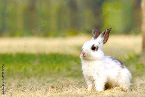 Poster 野原で遠くを見る子ウサギ