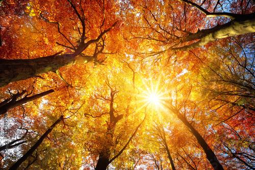 Papiers peints Orange eclat Wald mit Buchen im Herbst: das Laub wird von der Sonne warm durchleuchtet