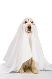 Golden Retriever dog ghost