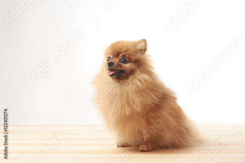 Pomeranian Dog Sitting On Wooden Table Buy Photos Ap Images