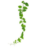 Heart shaped green leaf vines isolated on white background, clip