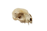 Cat skull side view isolated on white background - 122434773