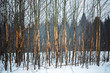 Small trees with scratched bark in winter forest
