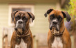 Two curious boxer dogs