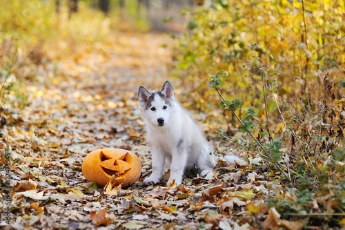 Husky dog on the background of autumn forest sitting next to a pumpkin for Halloween