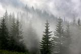 pine forest in mist - 122477324