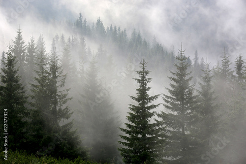pine forest in mist - 122477324