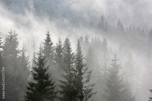 pine forest in morning fog - 122477348