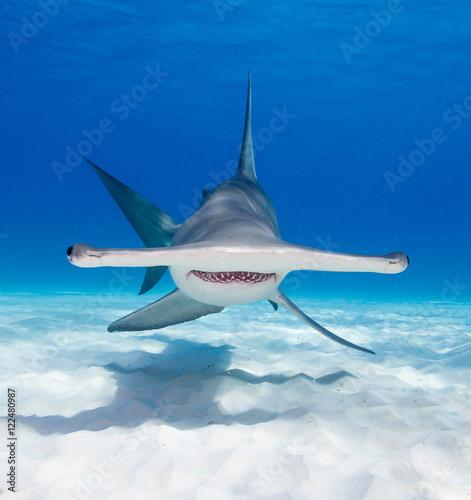 Fototapeta Great hammerhead shark underwater view at Bimini in the Bahamas.