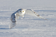 Snowy owl hunting over a snow covered field