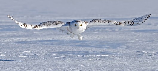 Snowy owl glides over the snow in an open field