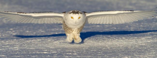 Snowy owl (Bubo scandiacus) prepares to catch its prey an open snowy field in winter in Ottawa, Canada