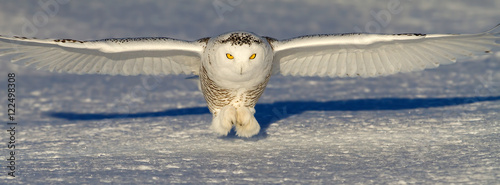 Snowy owl prepares to catch its prey in snow field in winter