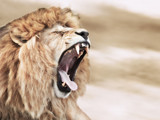 Lion rage