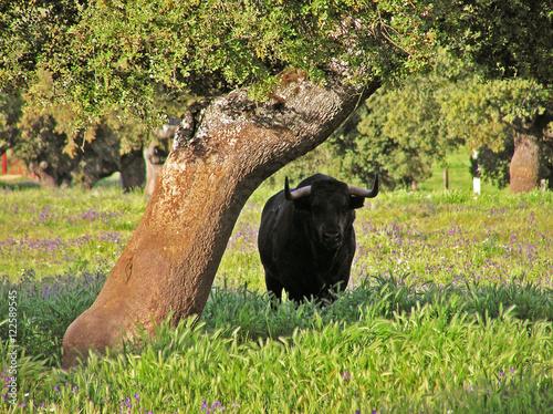 Toro en el Campo Charro (Salamanca, España)