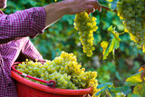 Worker Cutting White Grapes from Vines