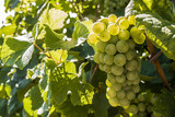 Bunch of white grapes. Autumn.