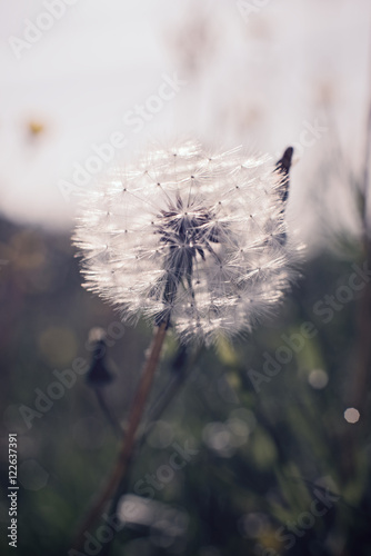 Dandelion - 122637391