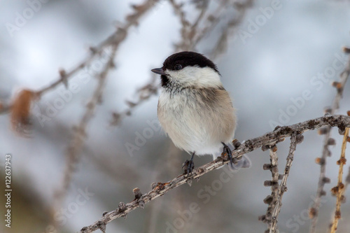 Foto op Canvas Natuur Marsh tit (Poecile palustris) on a small branch