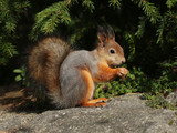 Cute red squirrel turning grey in autumn
