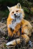 Wild Red Fox, Jasper National Park Alberta Canada