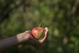 Frisch gepflückter Pilot-Apfel in einer Hand