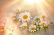 Daisy flowers in meadow lit by sUn rays (sunbeams)