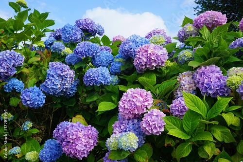 Fotobehang Hydrangea Purple, blue and pink heads of hydrangea flowers